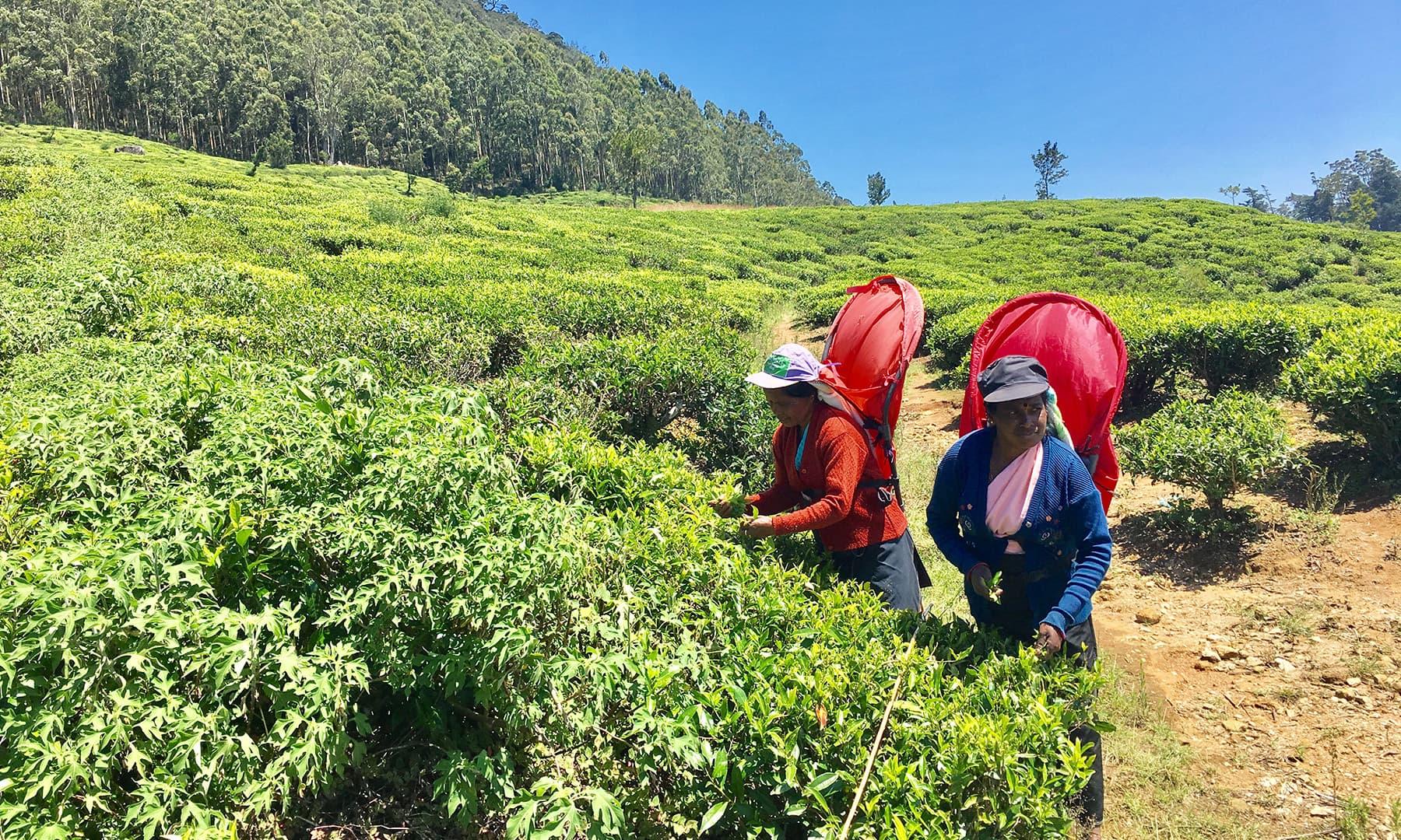 چائے کے پتے چننے والی خواتین—تصویر امتیاز احمد