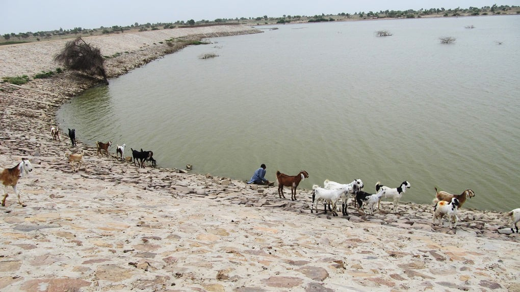 Livestock drinking water at the small dam constructed by the Sindh government in Thar Desert in 2011. ─ Photo by author
