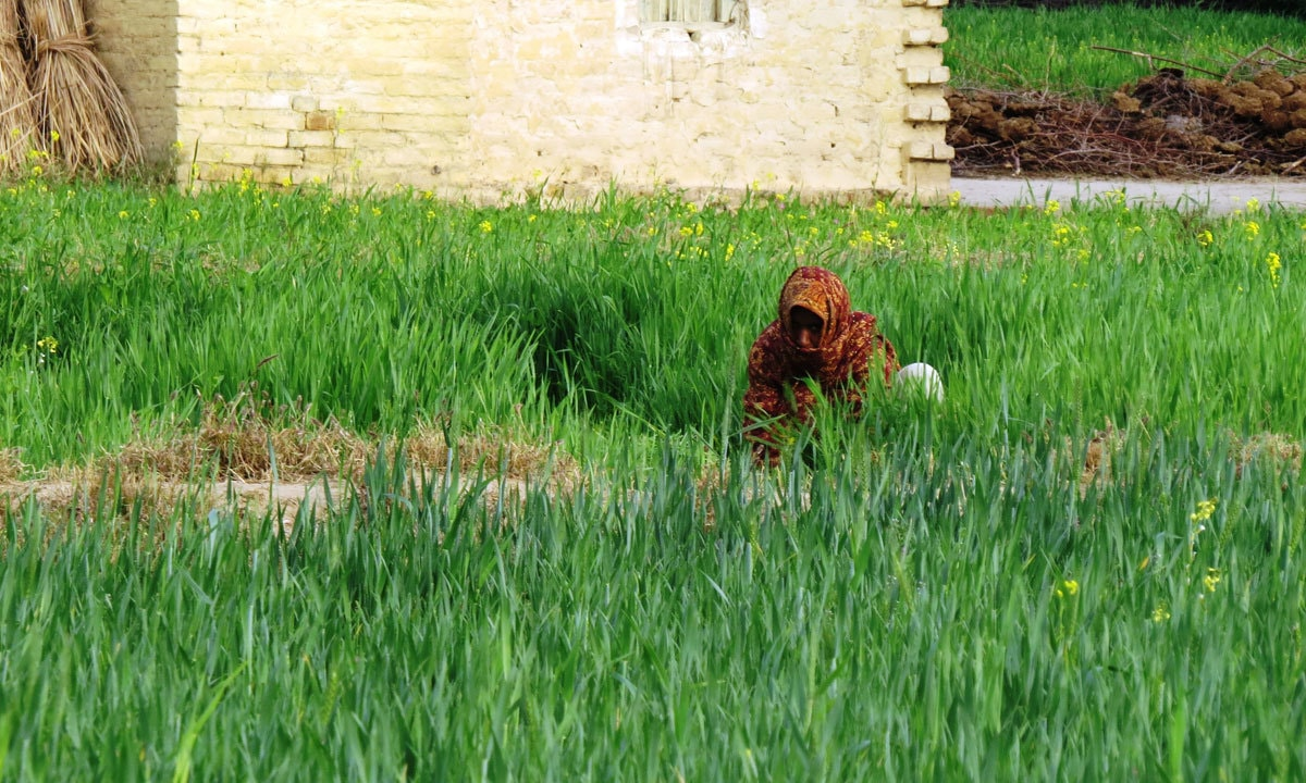 A woman working in a field  in Dhurnal