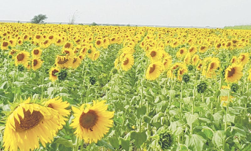 A SUNFLOWER field in Thatta district.—Photo by author