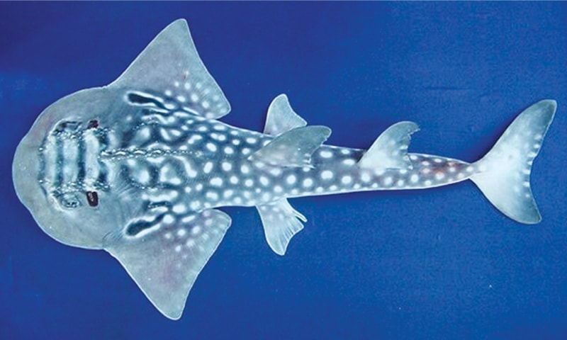 A BOWMOUTH guitarfish, a vulnerable shark species, photographed at Karachi harbour.