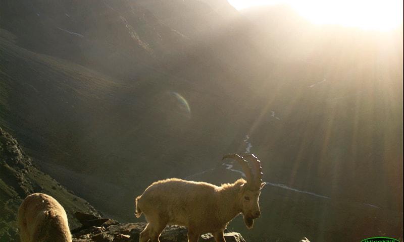 ہمالیہ آئی بیکس—تصویر ورلڈ وائلڈ لائف فنڈ