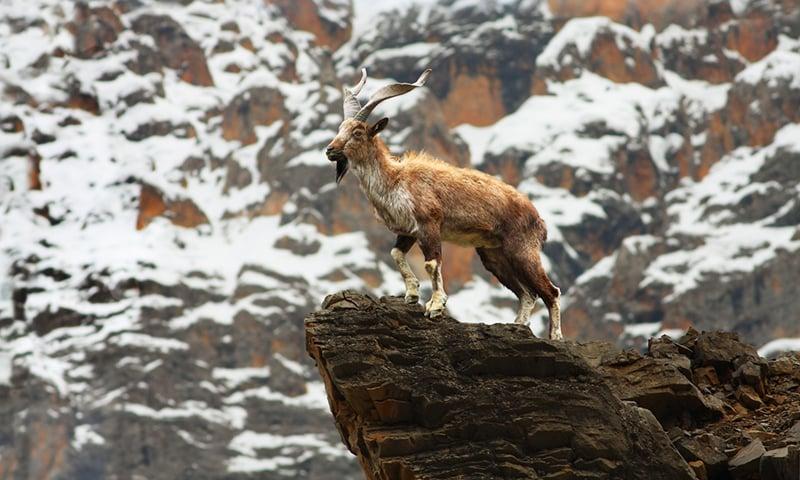 شمالی علاقہ جات میں مارخور سمیت دیگر کئی جانور نایاب ہوچکے ہیں—تصویر ورلڈ وائلڈ لائف فنڈ
