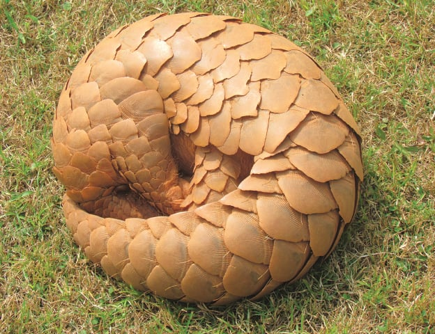 Its habit to curl up in face of danger, renders the pangolin more vulnerable