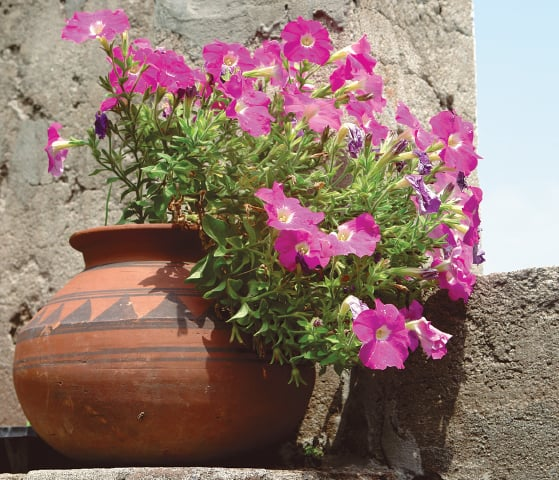Old fashioned petunias   Photos by the writer