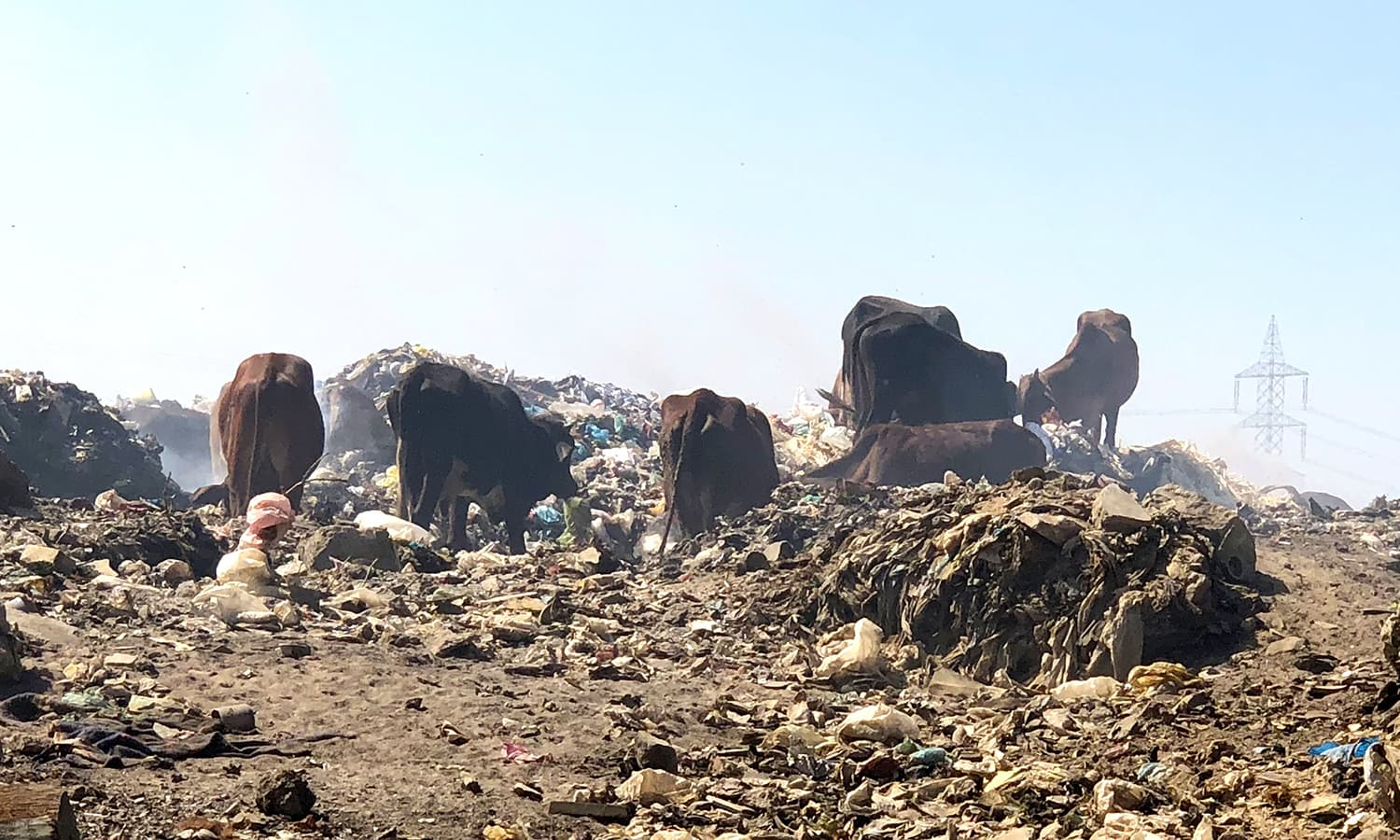 Cows and buffaloes rummage through garbage looking for food at Jam Chakro. — Photo by author
