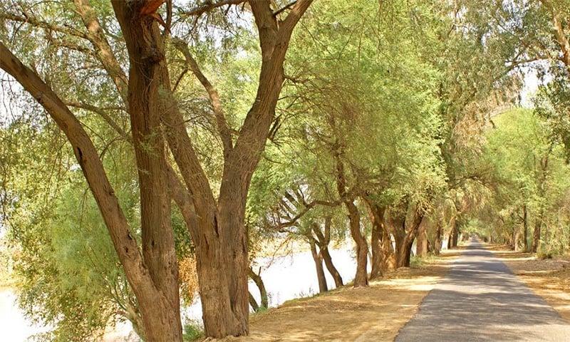 کیکر کے درخت —تصویر سید قمر مہدی