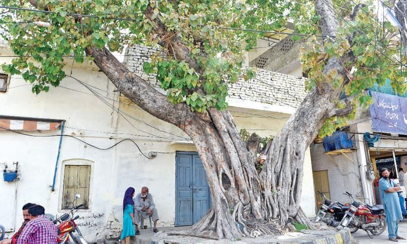 A banyan tree in front of the disputed Swami Narayan temple in Rawalpindi's Gawalmandi area. — White Star