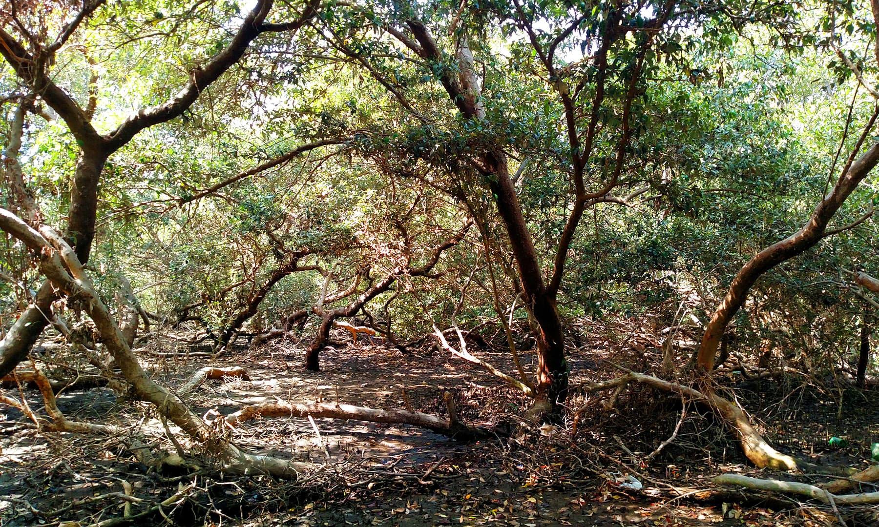 کسی کسی جگہ جنگل نہایت گھنے ہیں جبکہ ان کی زمین عموماً کافی نرم ہوتی ہے — فوٹو بشکریہ لکھاری