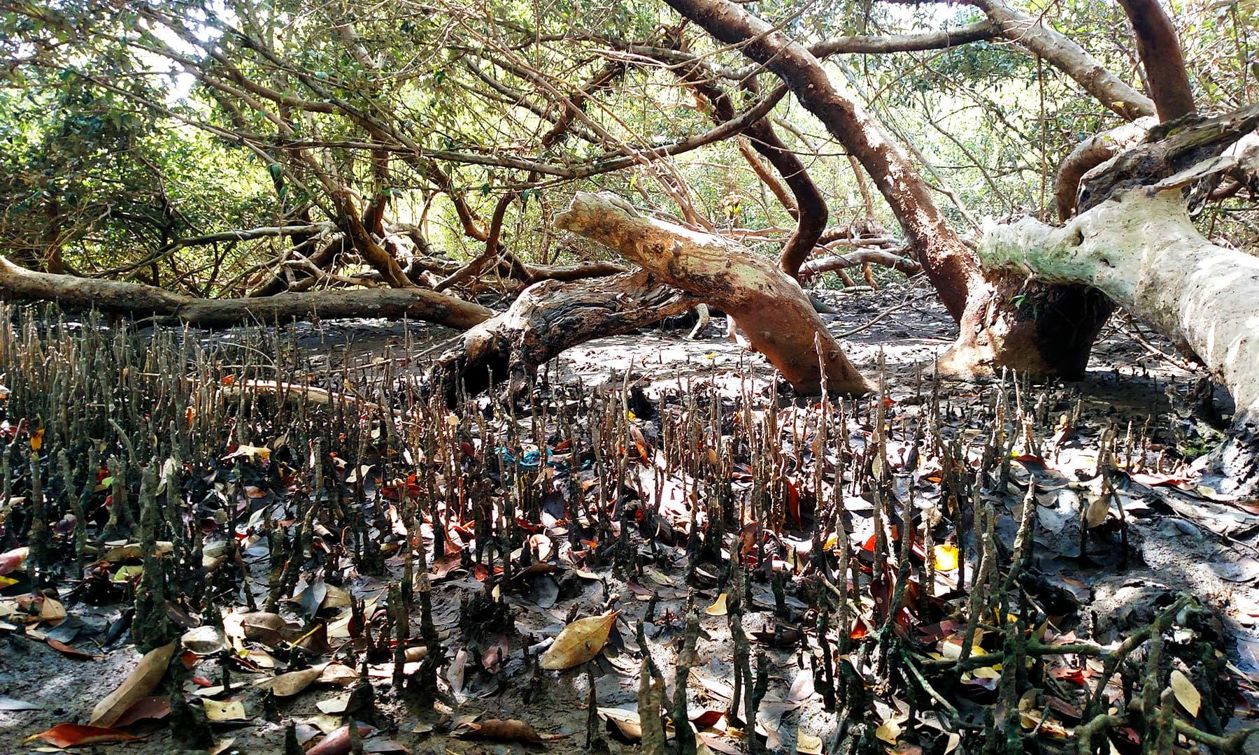 مینگرووز کی جڑیں زمین کے اندر سے باہر کی جانب نکلی ہوتی ہیں — فوٹو بشکریہ لکھاری