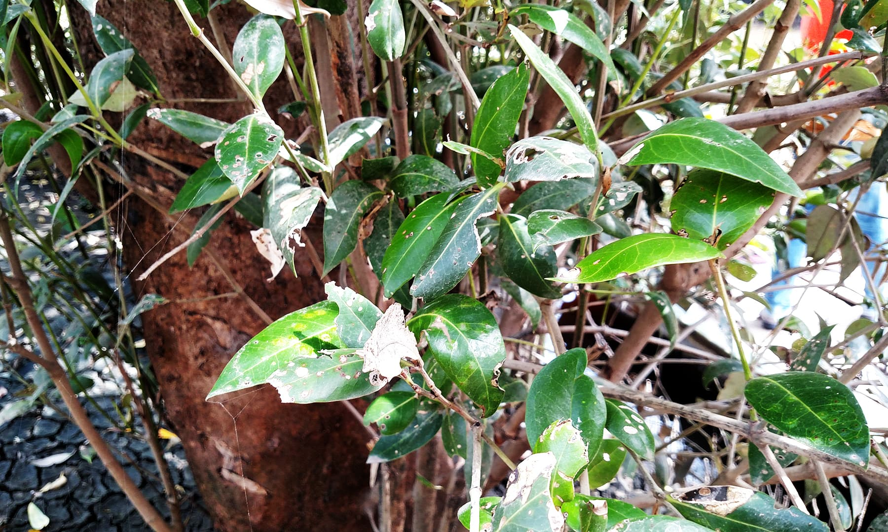 انفیکشن کا شکار ایک درخت — فوٹو بشکریہ لکھاری