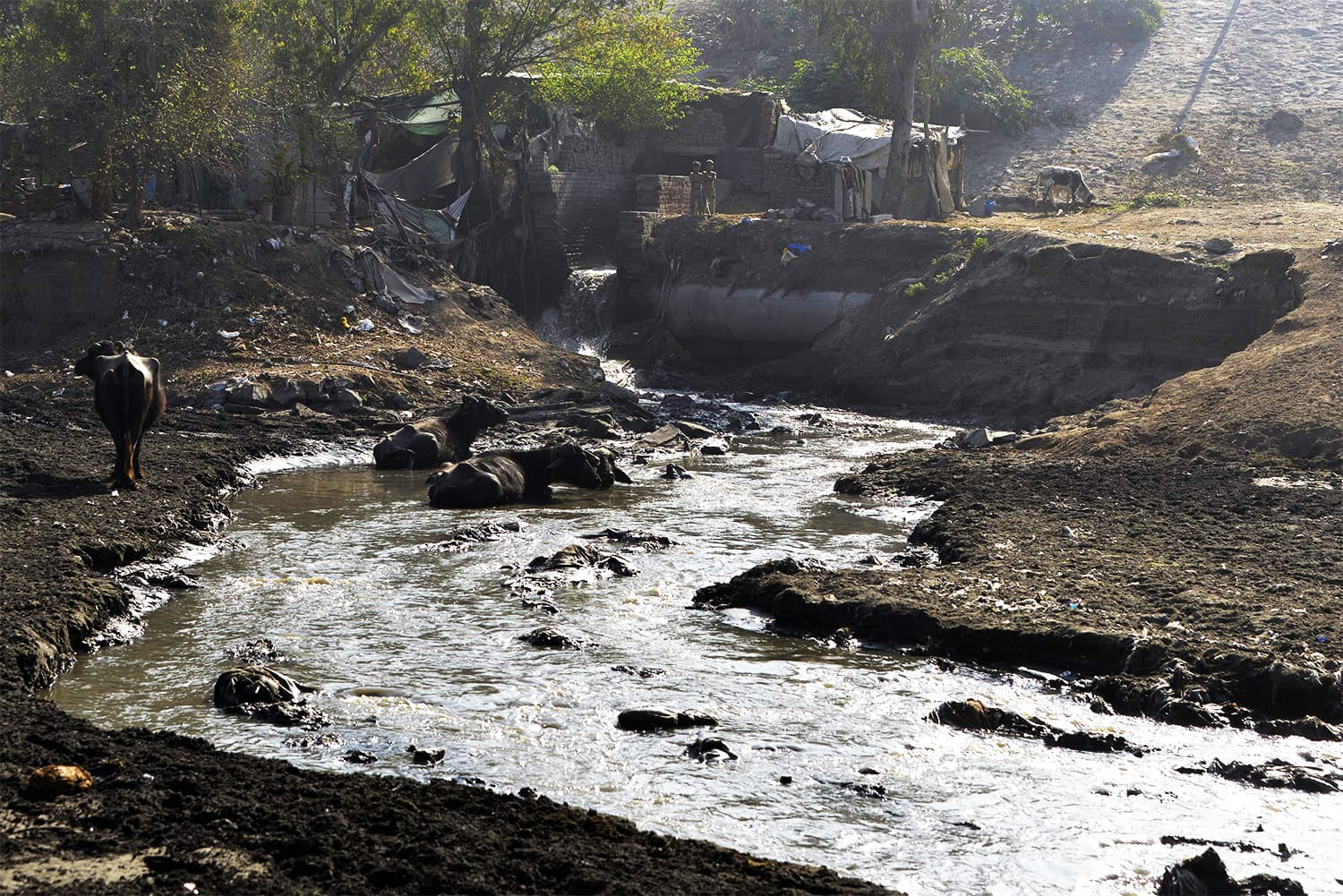 This picture taken on February 26, 2018, shows buffaloes sitting in drain water near the Ravi river on the outskirts of Lahore. ─ AFP