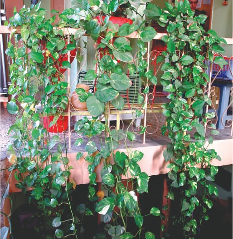 Pothos (money plant)
