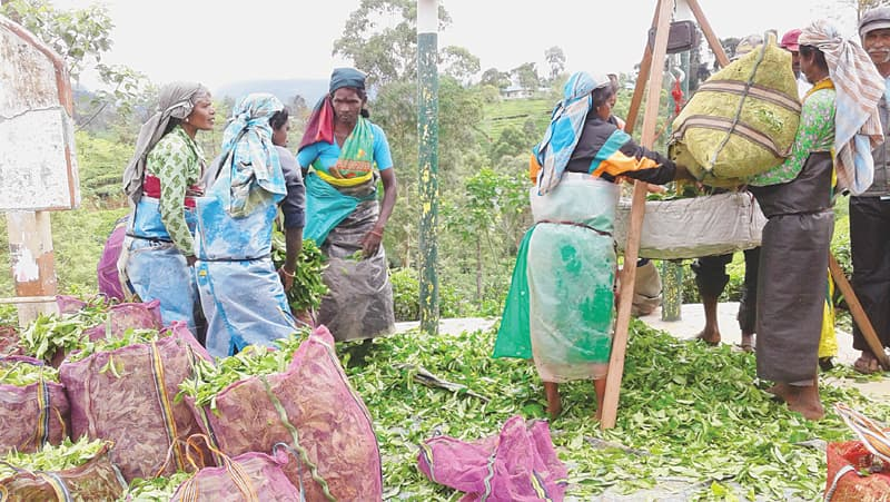 PLANTATION workers weighing freshly plucked tea in Matale.—Photo by writer