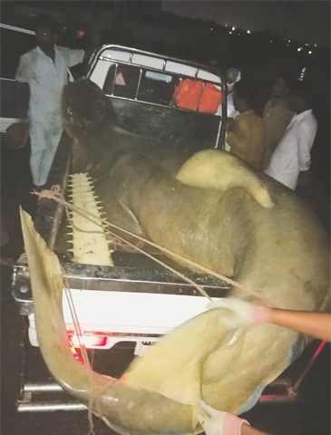 THE sawfish being loaded into a vehicle.
