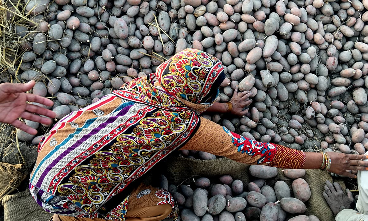 Aqsan Mehboob's mother separates rotten potatoes in Okara district in April this year | Subuk Hasnain