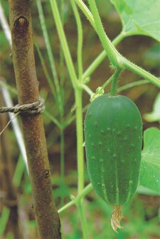 Crunchy cucumber