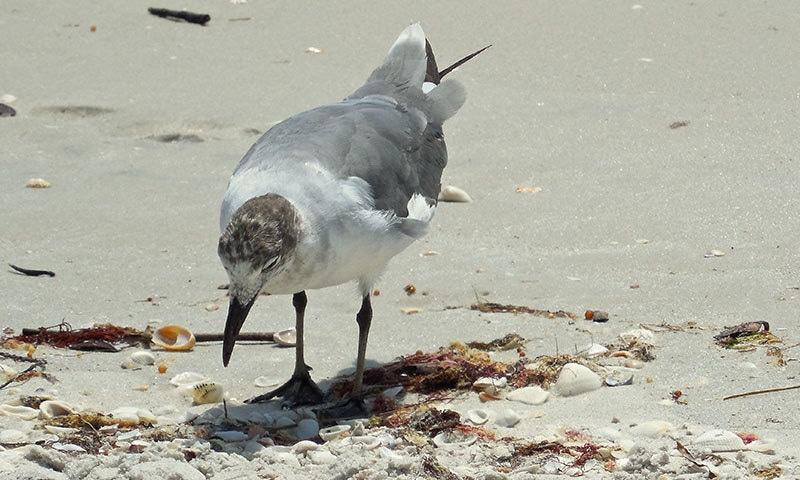 آبی پرندے بھی پلاسٹک سے متاثر ہو رہے ہیں—فوٹو: شٹر اسٹاک