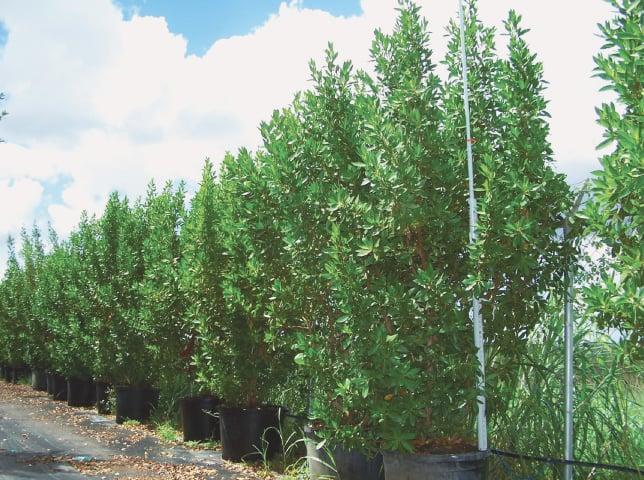 Conocarpus trees