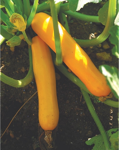 Wonderful golden courgettes