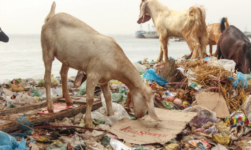 Animals feeding on garbage dumps