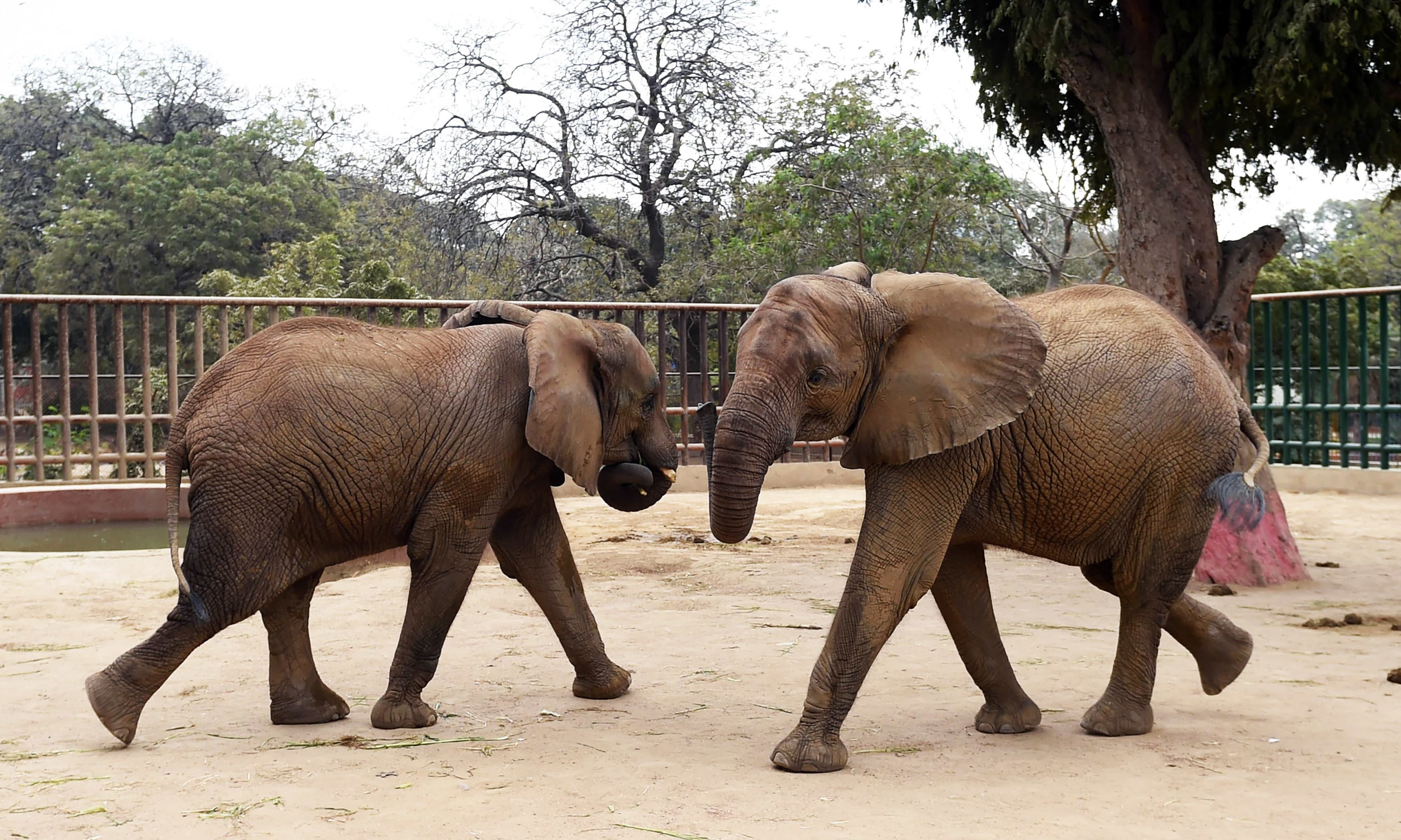 Elephants are pictured in their cage at the Karachi Zoo in Karachi. —AFP