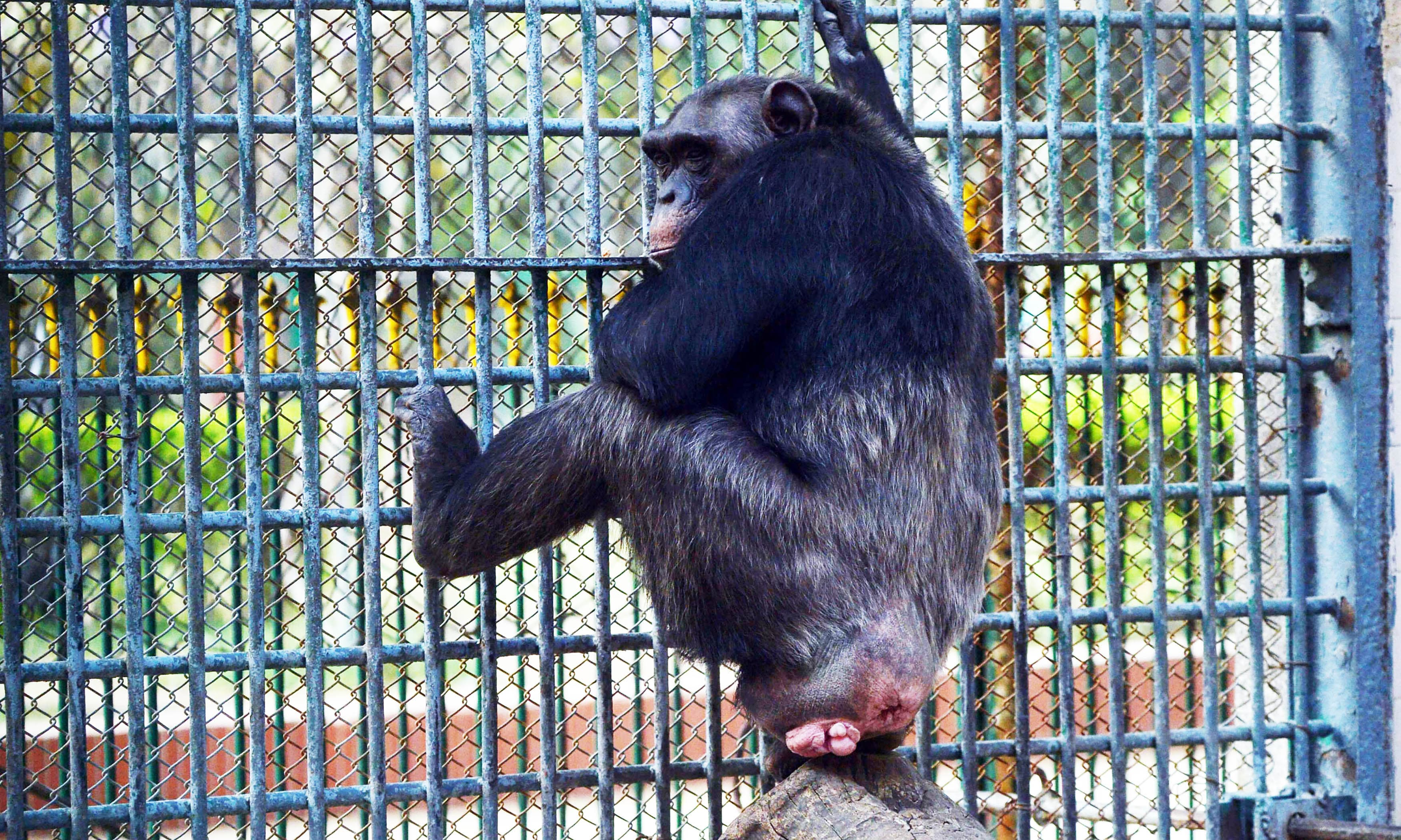 A chimpanzee is pictured in a century-old cage at the Karachi Zoo in Karachi. —AFP