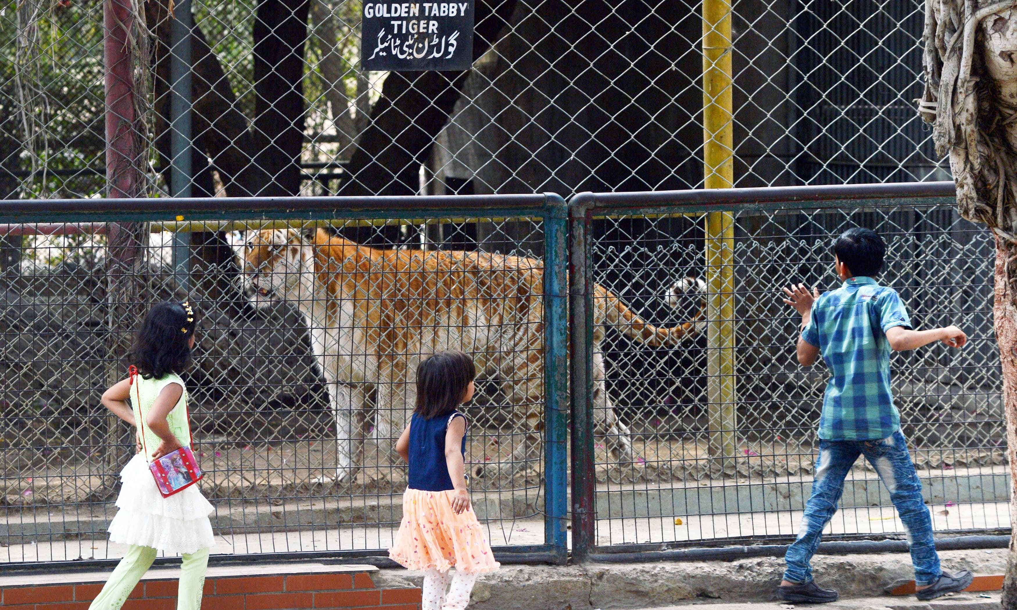 Children look at a tiger in a cage at the Karachi Zoological Garden. —AFP