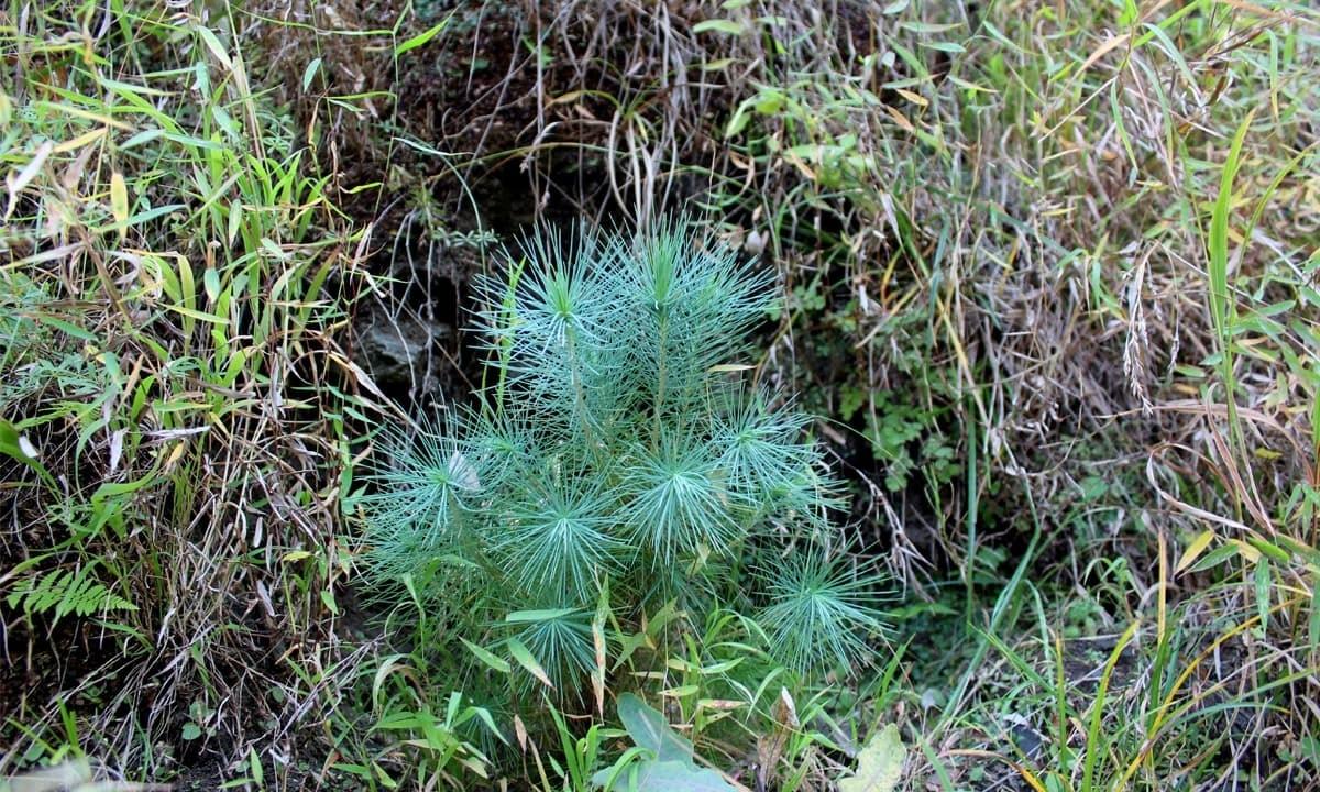A chir pine sapling in Marghuzar, Swat | Danyal Adam Khan