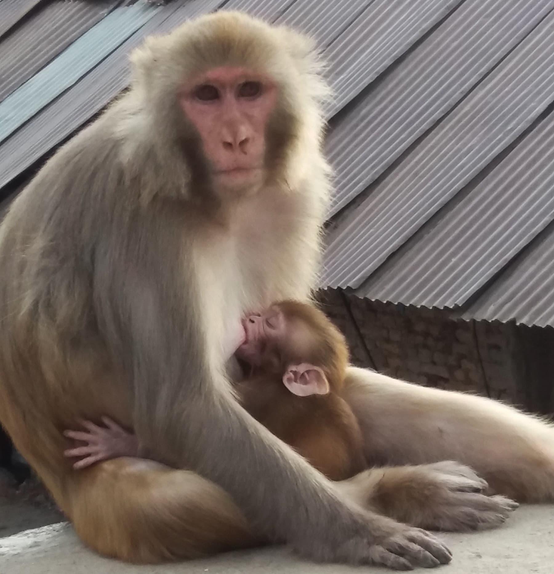 ایک دھرم شالا کے قریب بیٹھی مادہ بندر—تصویر شبینہ فراز