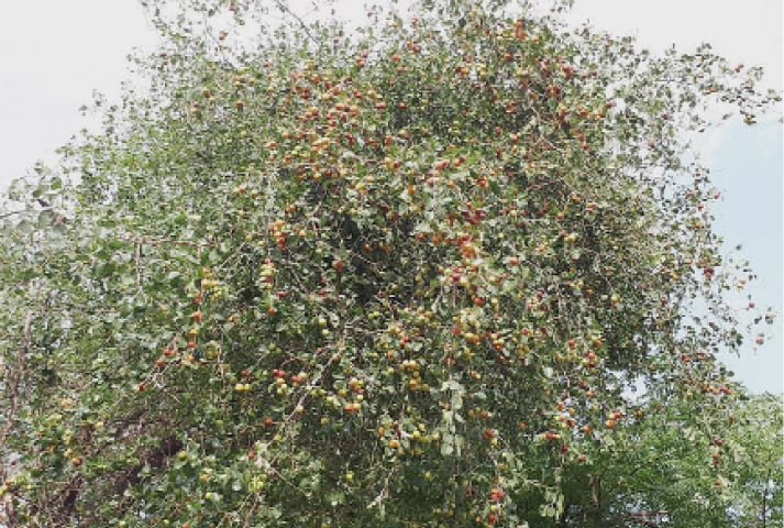 A tree laden with berries. Berries (Bair) are a tropical fruit tree is hallmark of Potohar region.