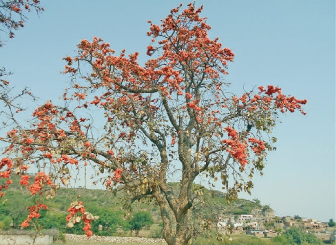 'Flame of the Forest' locally known as Dhaak or Chachra grown near Amrila village in Salt Range area of Choa Saidan Shah.