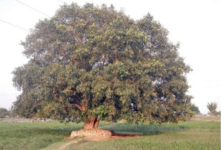 An old Peepal tree in the fields of Thoha Bahadur village near Chakwal.