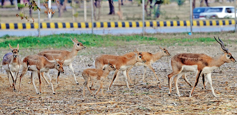 The enclosure is part of the Marghazar Zoo and houses more than 30 deer. Its affairs are supposed to be run by the zoo director and staff. — File Photo