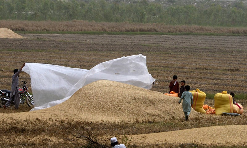 A farmer covers chaff with a plastic sheet to protect it from rain on the outskirts of Peshawar | Shahbaz Butt/White Star