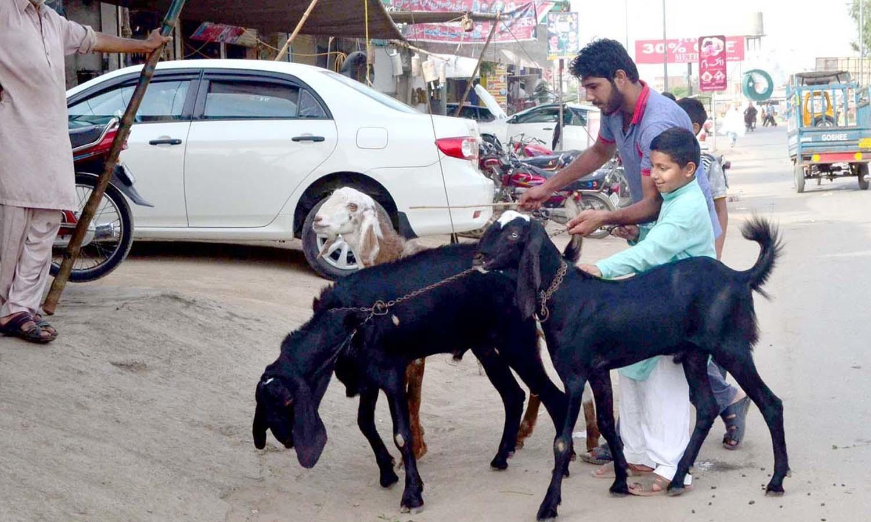عید کے قریب بچے جانوروں کو سجا سنوار کر انھیں سیر کروانے کے خواہش مند نظر آتے ہیں—فوٹو/ آن لائن