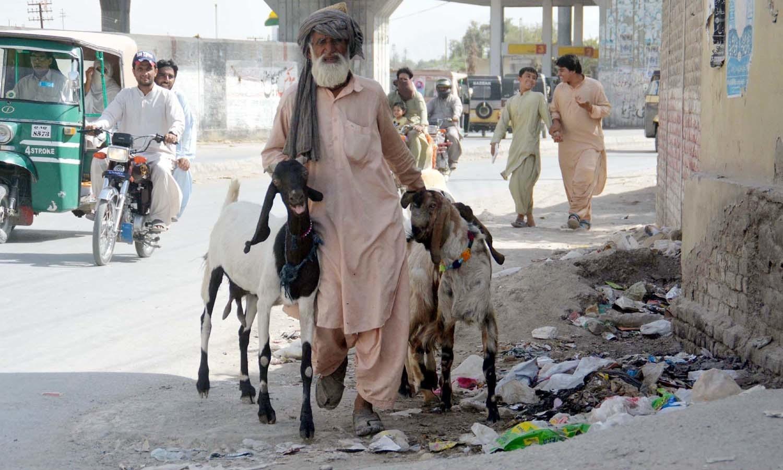 اکثر شہری سارا سال گھروں میں بھی قربانی کے لیے جانور پالتے ہیں — فوٹو/ آن لائن