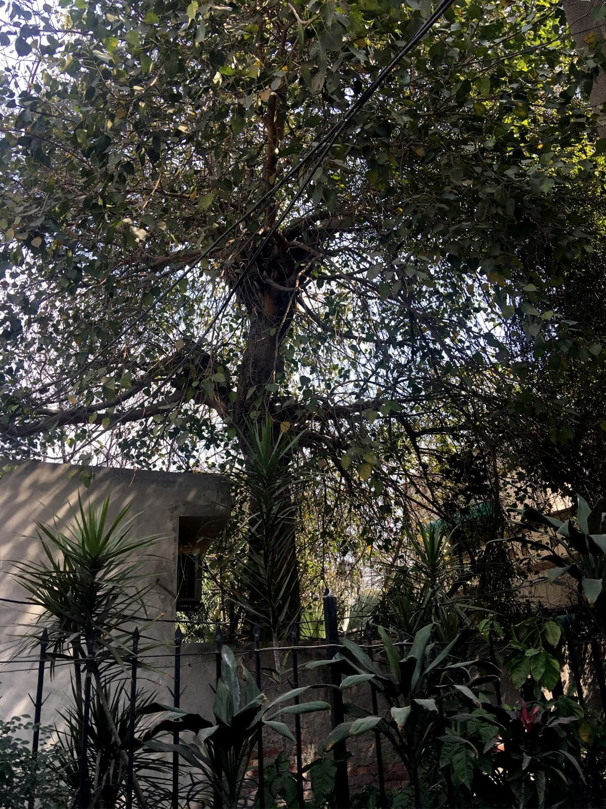 A peepal tree where, according to some witnesses, the gallows were built in 1978 to carry out a public hanging in Lahore | Subuk Hasnain