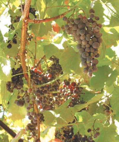 Bountiful grapes | Photos by the writer