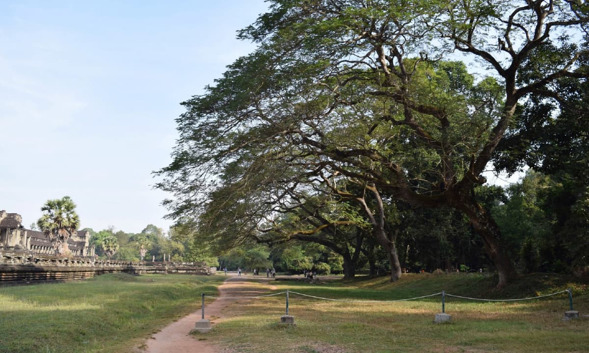 The gigantic trees of Angkor Wat in Cambodia
