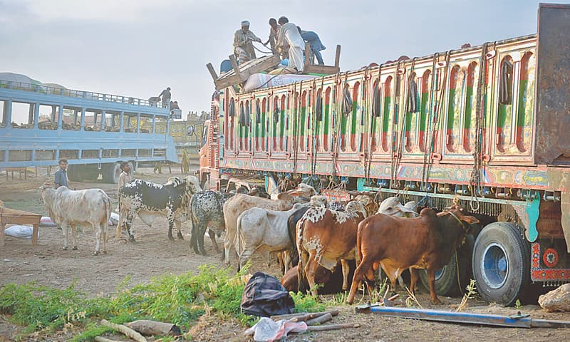 The sacrificial animals reach Karachi from Superhighway, the National Highway and Hub River Road.