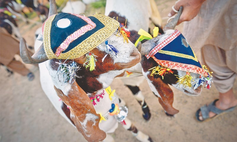 A couple of very well-decorated sacrificial goats.