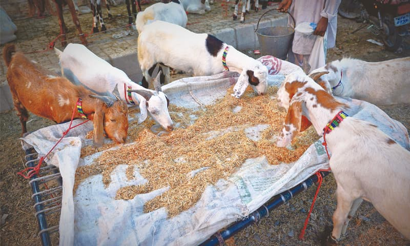 The animal feed costs somewhere near Rs3.75 billion.