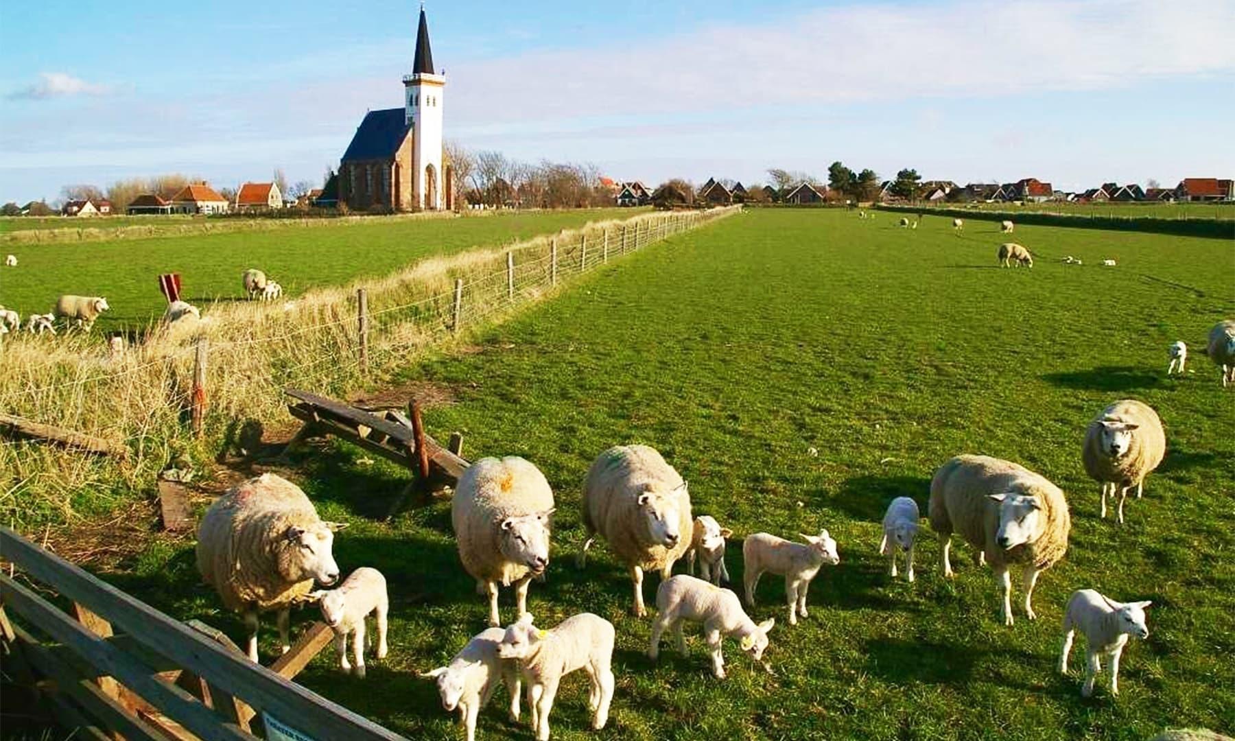 کتا مالک کی سیٹی کی آواز سنتے ہی 300 سے 400 بھیڑوں کو ایک باڑے میں جمع کر دیتا تھا