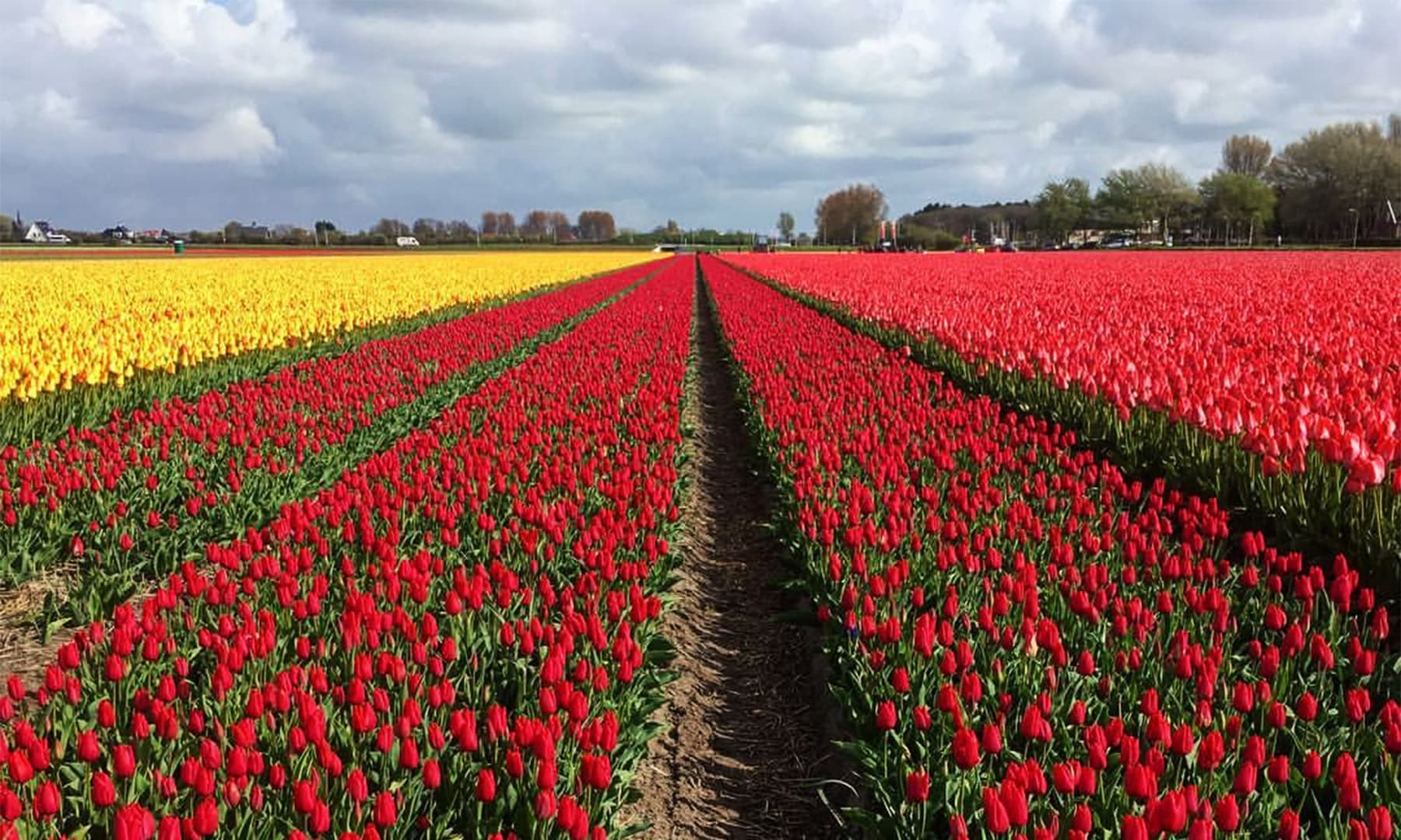 سالانہ لاکھوں لوگ ہالینڈ کی سیر صرف پھولوں کے کھیتوں کی وجہ سے کرنے آتے ہیں