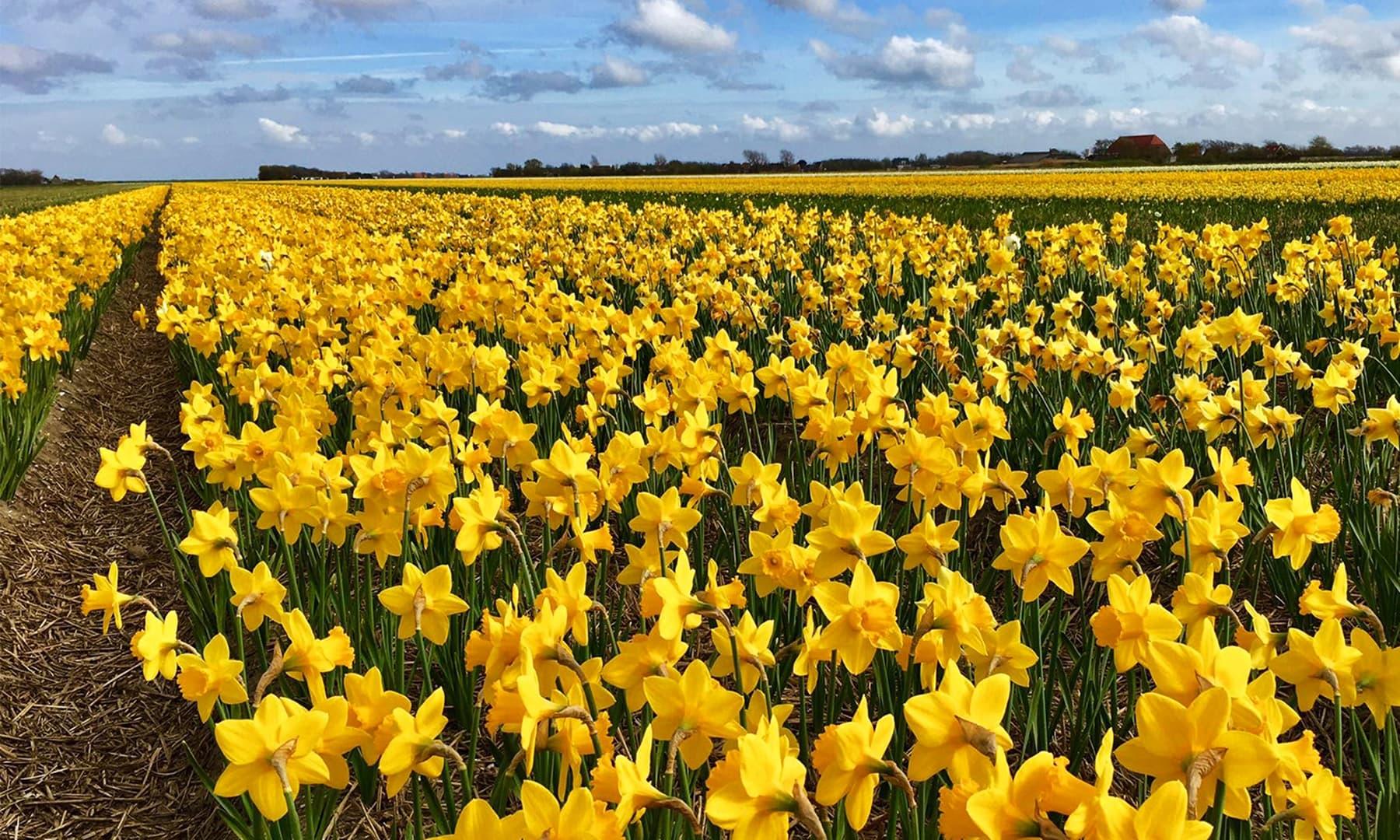 1630ء کی دہائی میں ہالینڈ میں اس پھول کی قدر ایک گھر کی قیمت کے برابر ہوچکی تھی