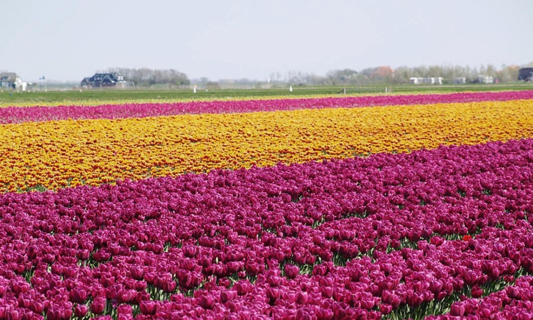 ہالینڈ کے امراء، تعلیم اور مراعات یافتہ طبقے کے باغیچوں میں اس پھول کو رکھنا باعث عزت سمجھتے تھے