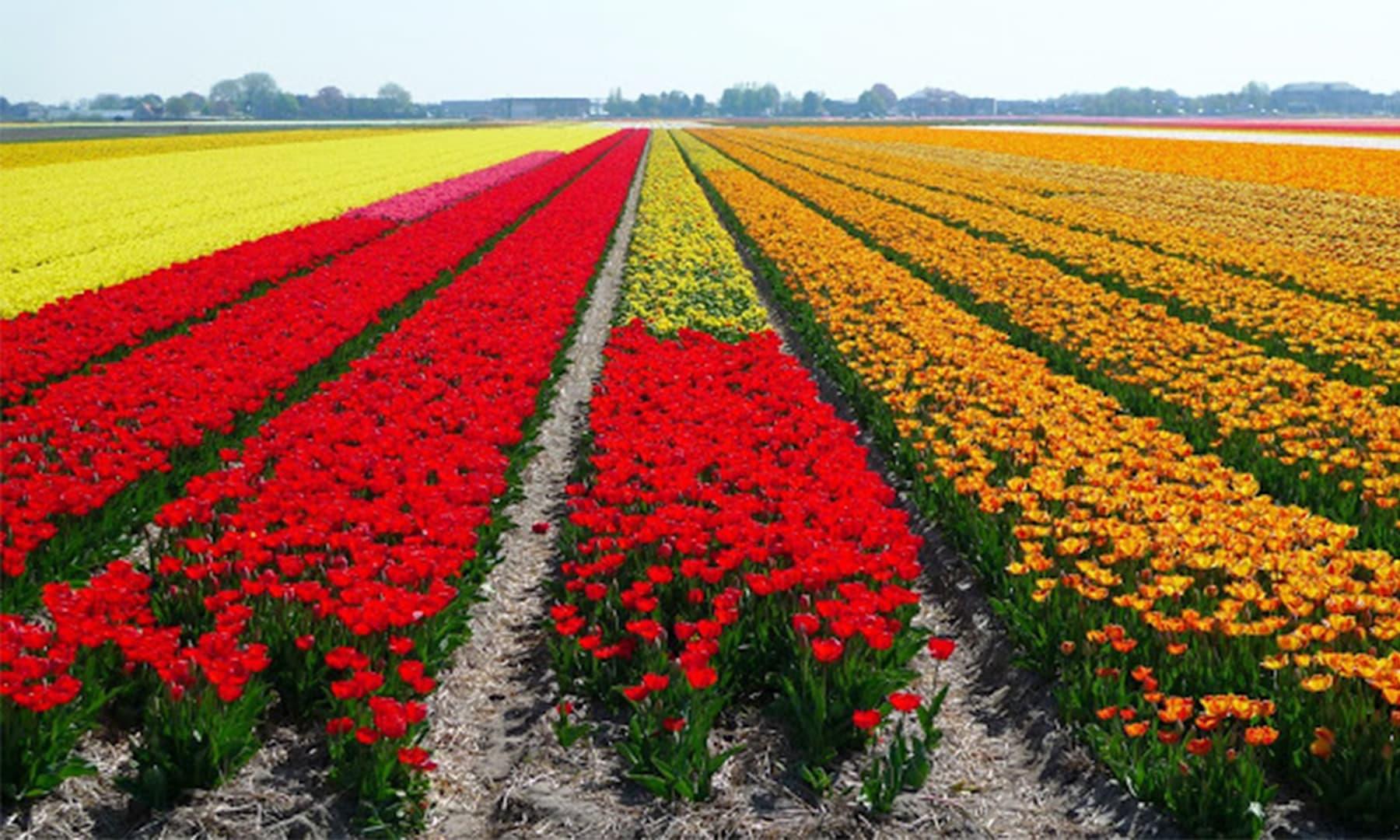 میں نے پہلی مرتبہ اتنے زیادہ پھولوں کے کھیت فلم 'پریم روگ' میں دیکھے تھے