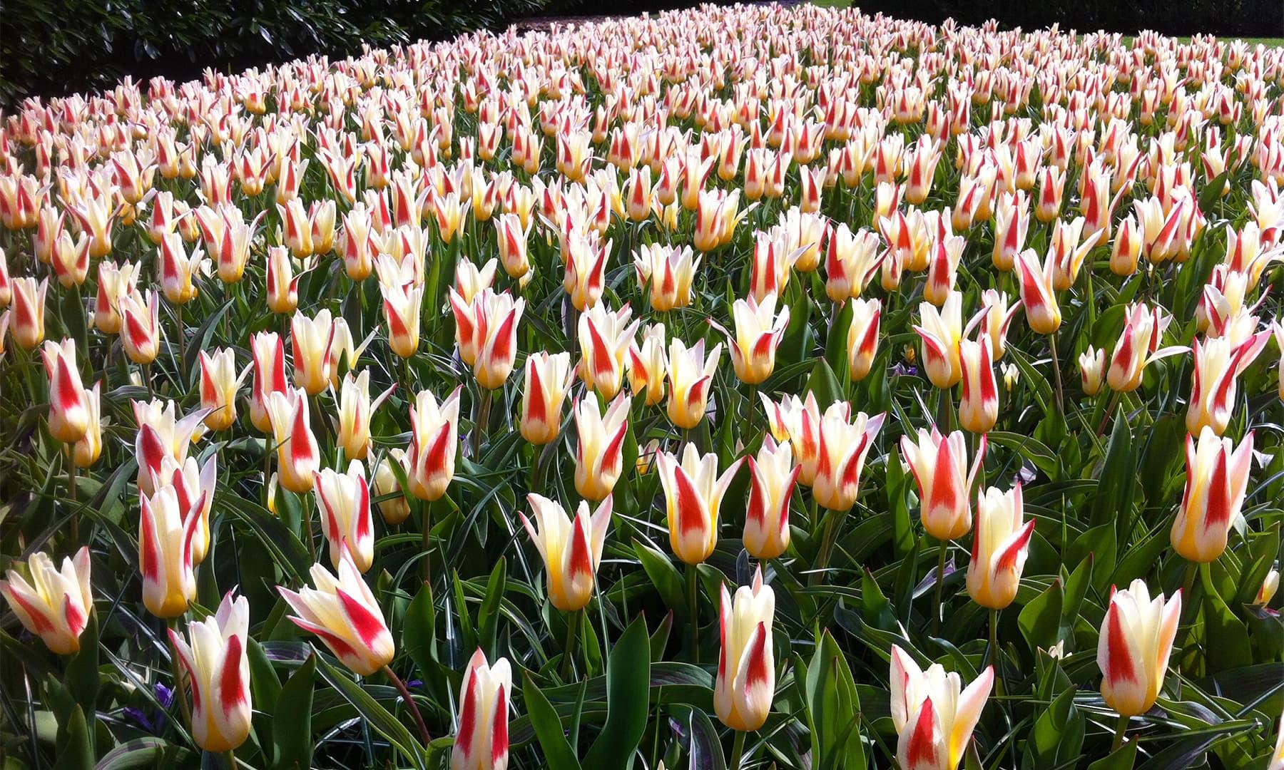 ہالینڈ میں پھولوں کے دور دور تک پھیلے کھیت