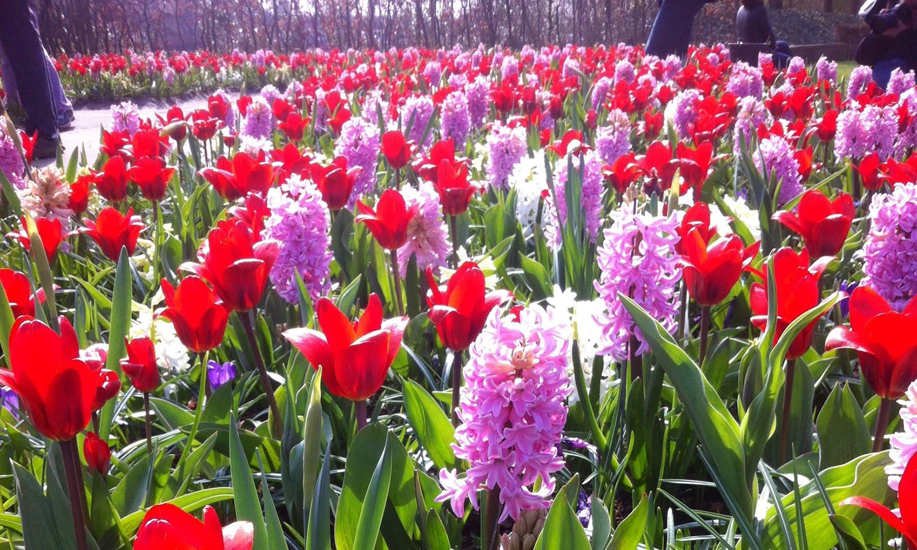 ہالینڈ بیجوں، درختوں، پودوں اور پھولوں کا دنیا میں سب سے بڑا برآمد کنندہ ہے